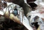 Stiltgrass wolf spider eating toad 2014-h.photo