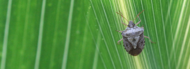 UGA researcher sleuths stink bug's on-farm travels