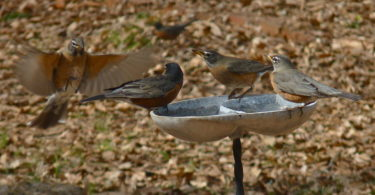 Photo of robins.