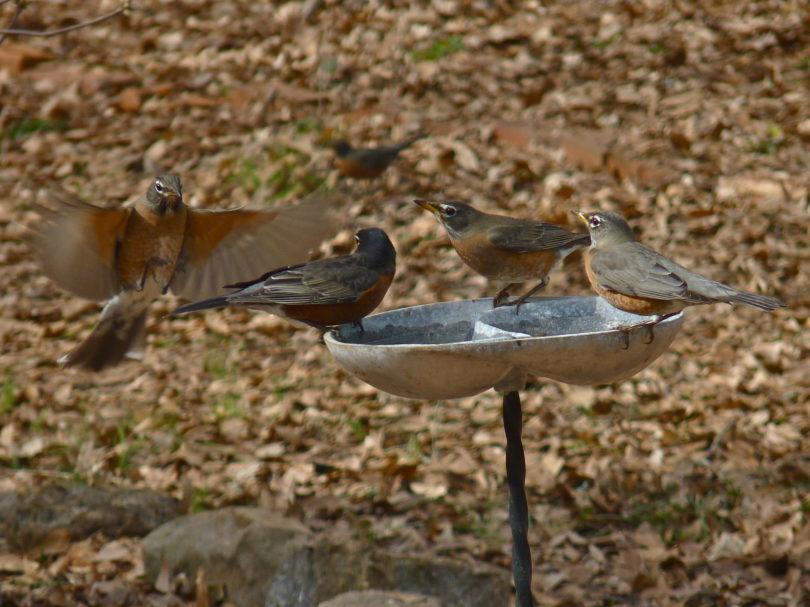 Photo of robins.