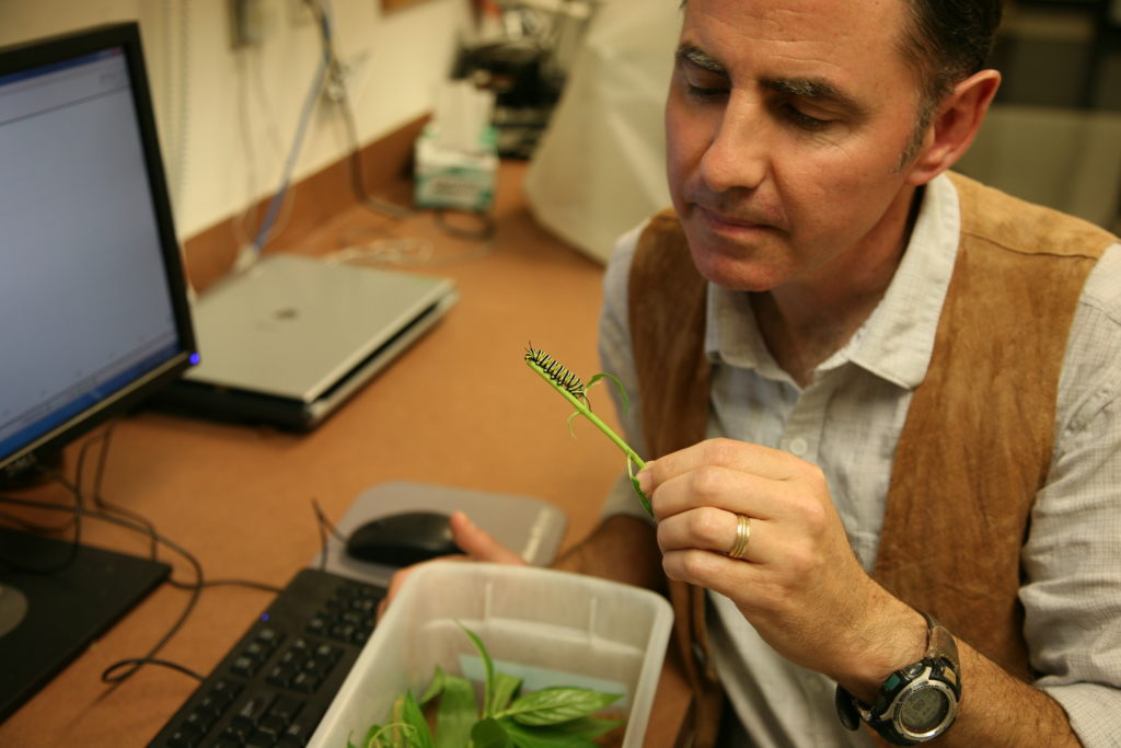 Ecologist Andrew K. Davis examines a monarch caterpillar in his laboratory.