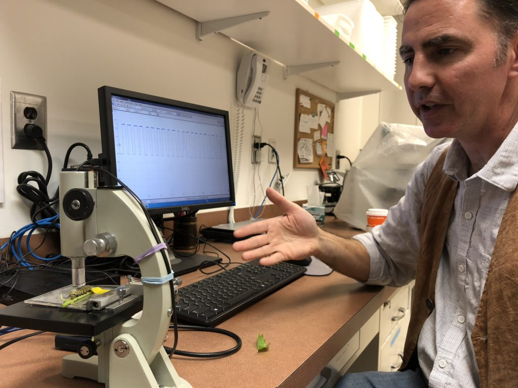 Davis measures the heart rate of a monarch caterpillar using a non-invasive custom-built infrared probe.