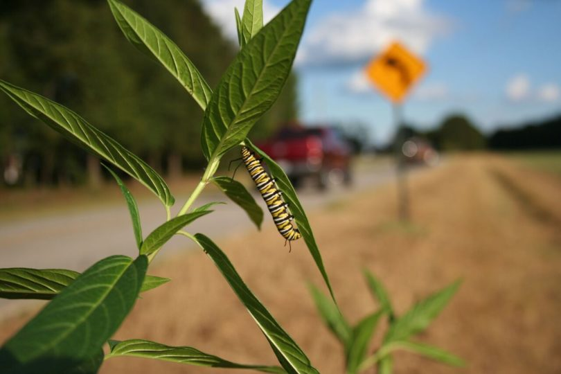 A monarch caterpillar clings to a milkweed stalk next to a rural road.