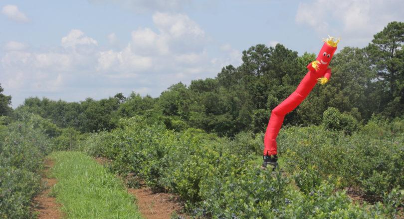 Photo of tube man scarecrow.