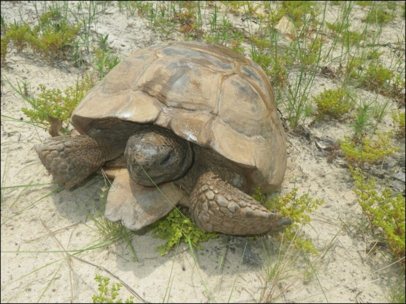 A gopher tortoise