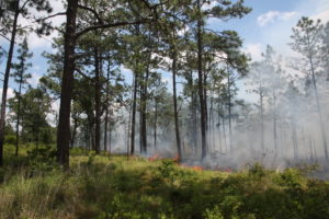 A prescribed fire in second-growth longleaf pine savanna.