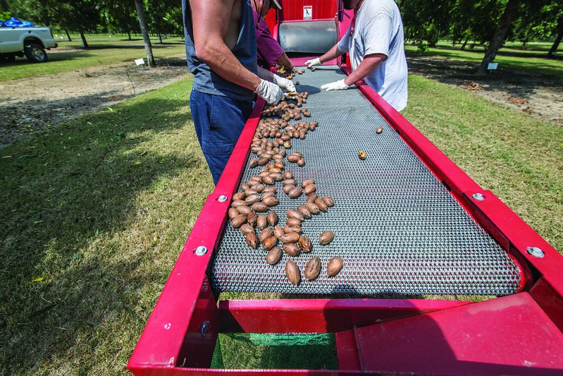 Two men send pecans down a mesh cleaner