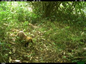 Study Shows Animal Life Thriving Around Fukushima  Badger-300x225