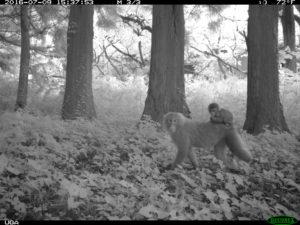 Study Shows Animal Life Thriving Around Fukushima  Figure1B-300x225
