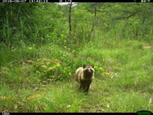 Study Shows Animal Life Thriving Around Fukushima  Figure1C-300x225