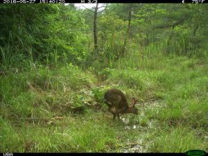 Study Shows Animal Life Thriving Around Fukushima  Hare-300x225