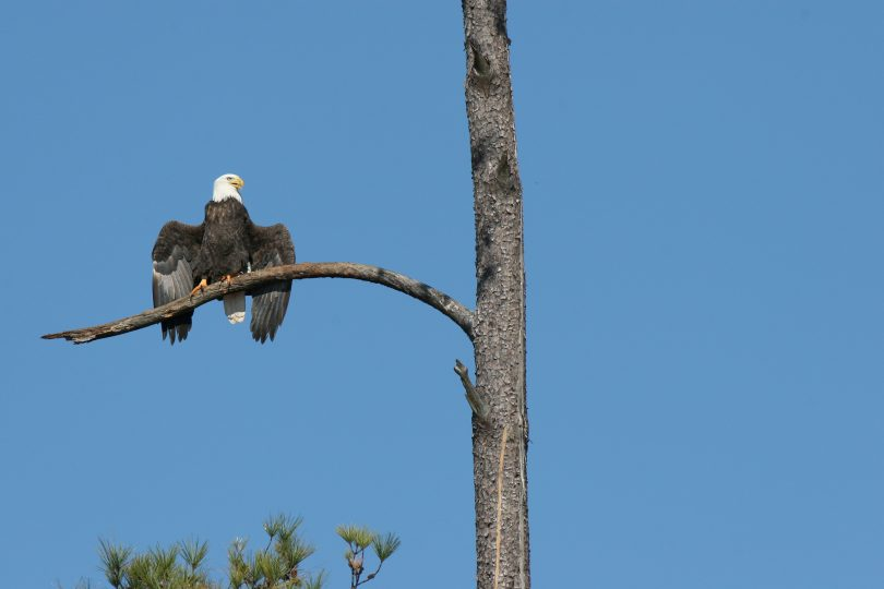 A bald eagle in a tree.