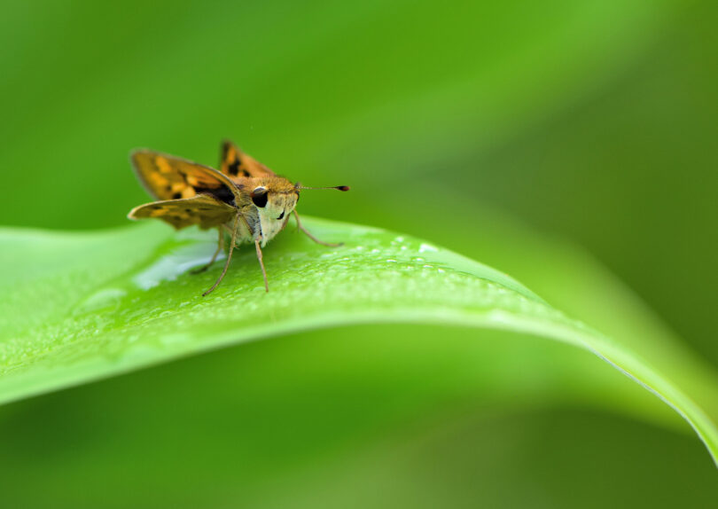 A skipper butterfly on a plant.