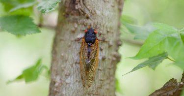 A cicada on a tree.