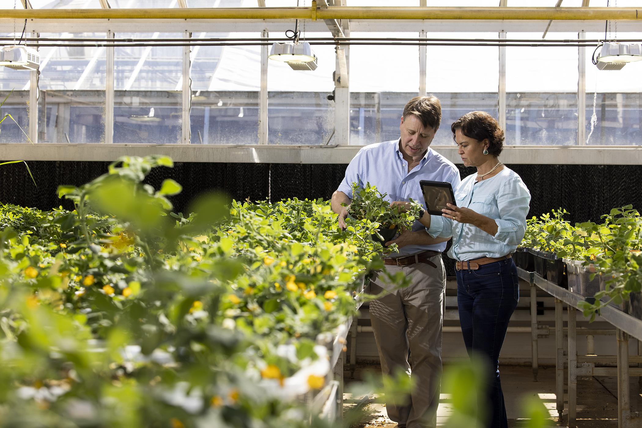 Bertiolis in greenhouse