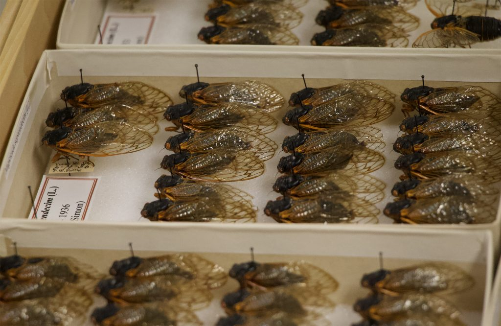 A display of cicadas in a museum.