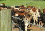 Cows in a farm field.