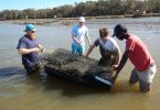 Four faculty and students standing in shallow water working on an oyster habitat.
