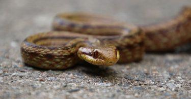Rat snake in Fukushima