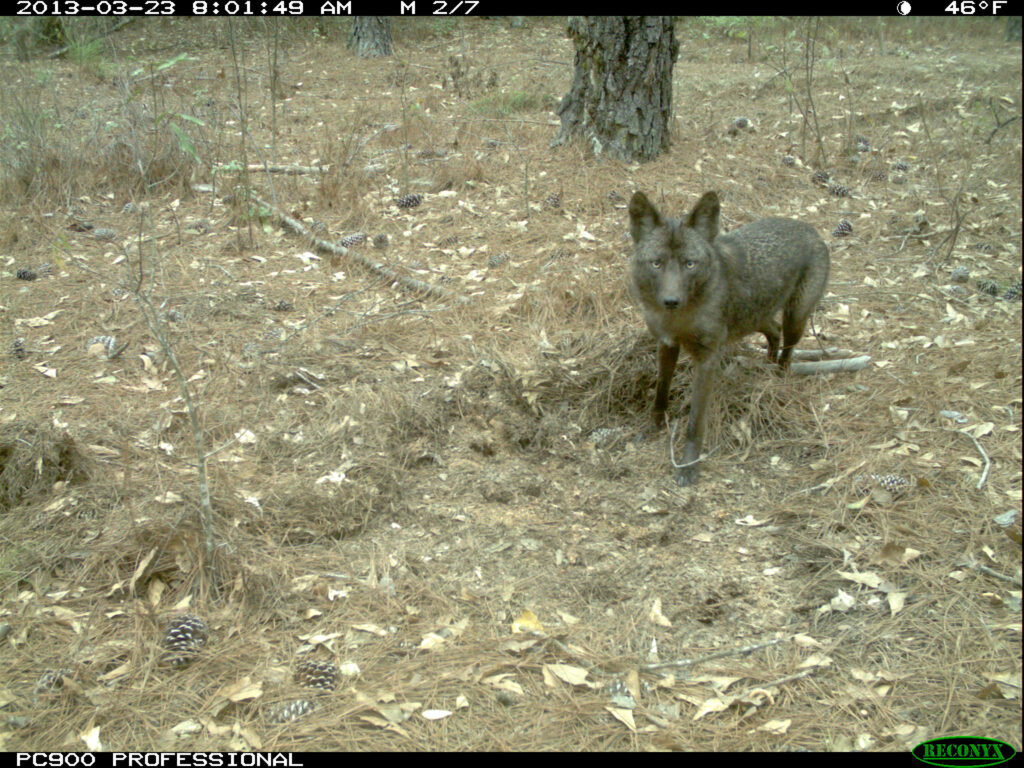 A coyote in the forest.