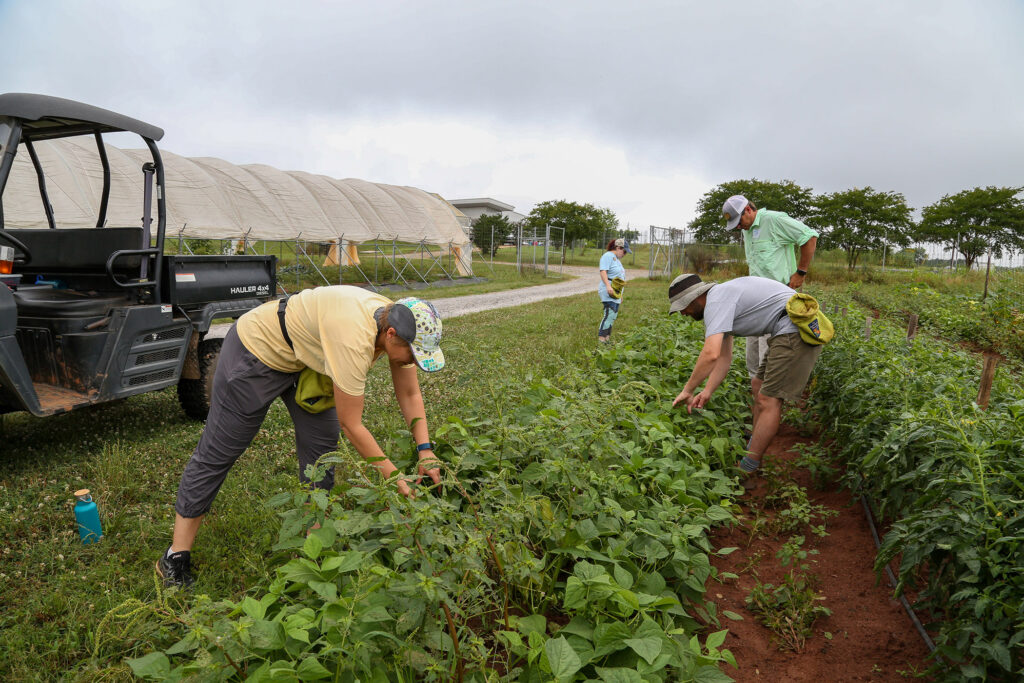Four people harvesting vegetables in a garden.