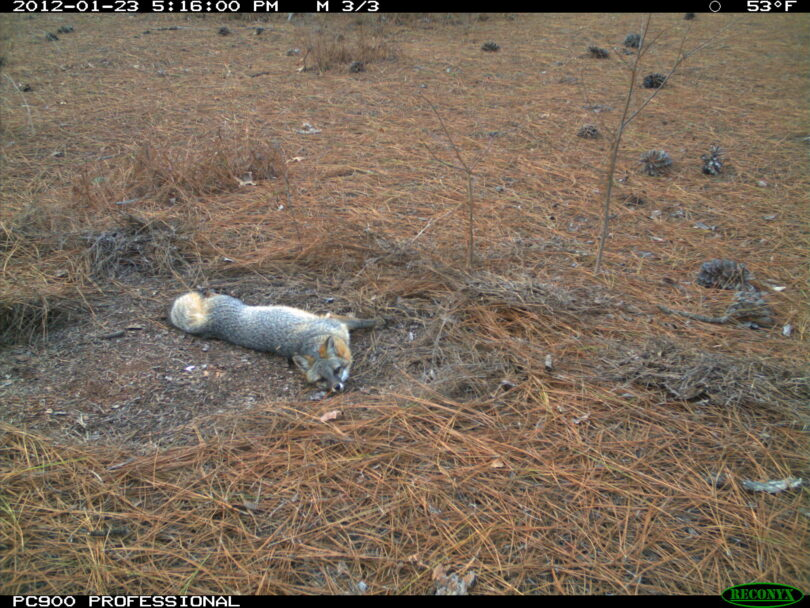 A gray fox lounges in pine straw.