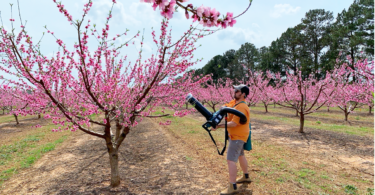 A man sucks insects off a peach tree with a leaf blower.