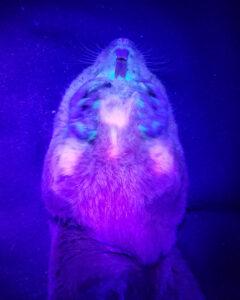 bioluminescent pocket gopher