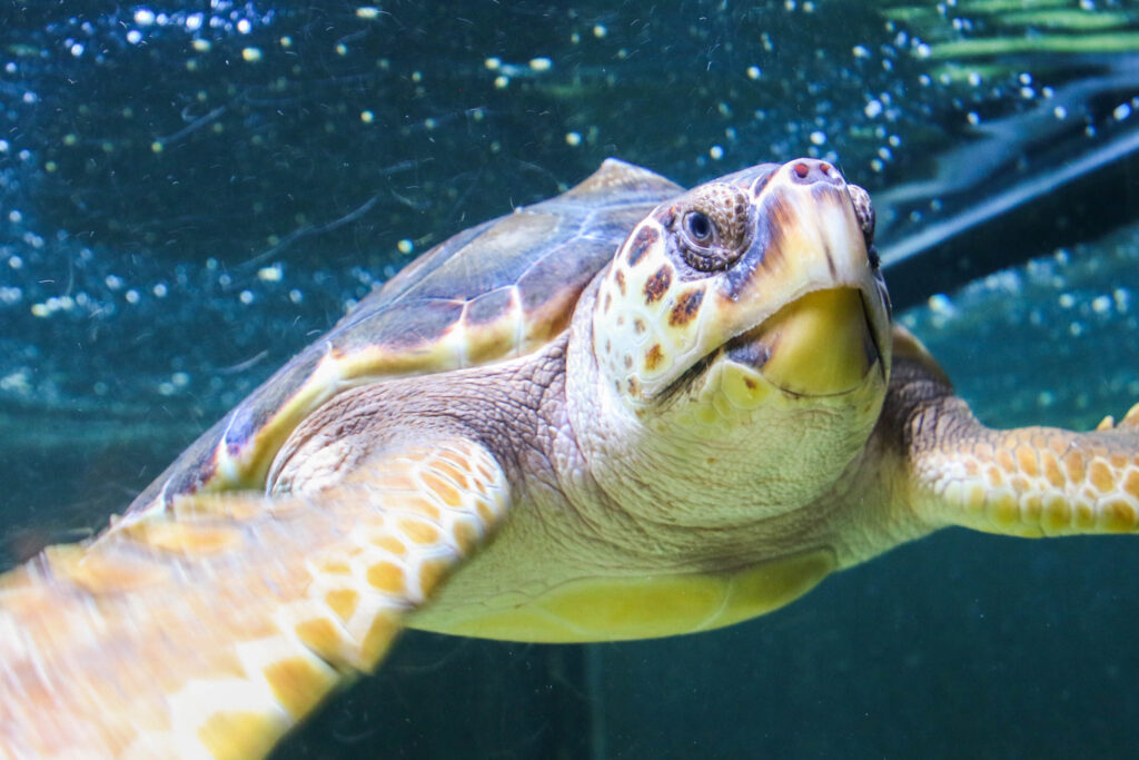 Photo of the turtle swimming under water in the aquarium.