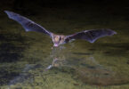 A bat flying low over some water.