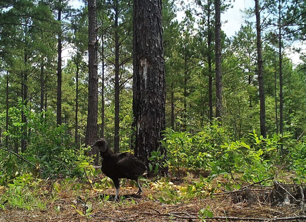 A black vulture on the ground investigates a carcass site in a pine forest.