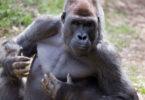 Male gorilla thumps his chest